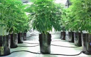 How Long to Grow Weed Indoors